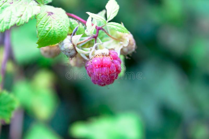 Red berry rubus forest raspberry on branch on green nature home garden background. Summer concept stock images