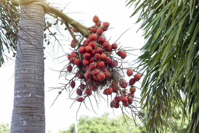 Red betel palm or betel nut on tree with sunlight. Red betel palm or betel nut on tree with sunlight on nature background stock image