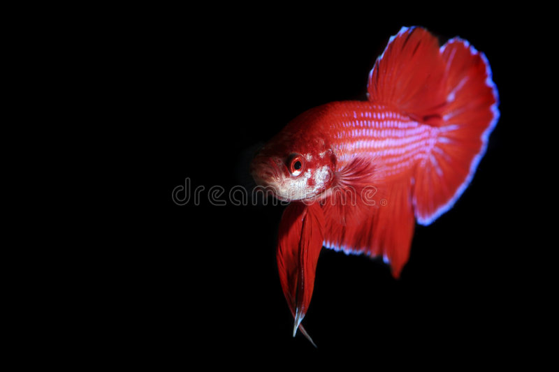 Red Betta. With Black color background royalty free stock photography