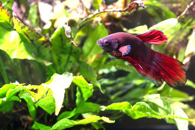 A red Betta Splendens , Siamese fighting fish. Betta Splendens is a colourful fish that is kept very fairly in aquariums stock image