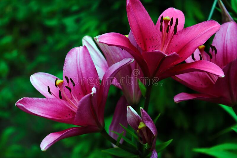 Red big lilies on green plants background stock images