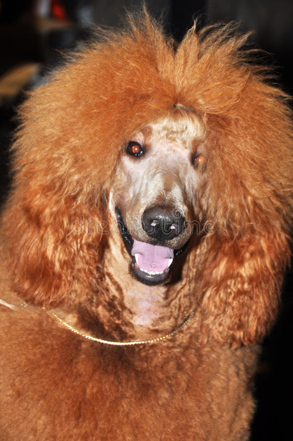 Download Red big poodle stock image. Image of exhibition, pets - 39513399