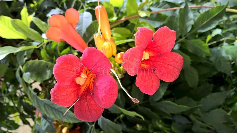 Red Bignonia stock photography