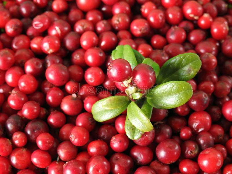 Red bilberry in autumn, Lithuania. Beautiful red ripe bilberry picked in forest in autumn royalty free stock photography