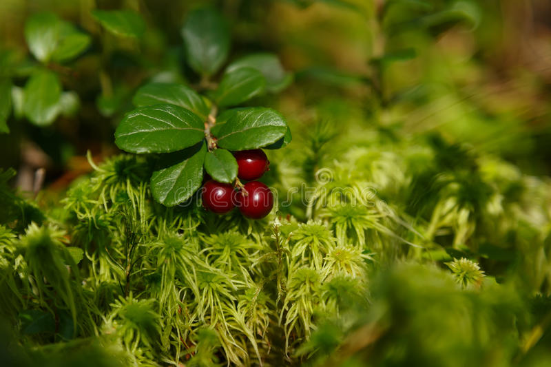 Red bilberry in green moss. Red ripe bilberries in forest with green leaves of moss royalty free stock photo