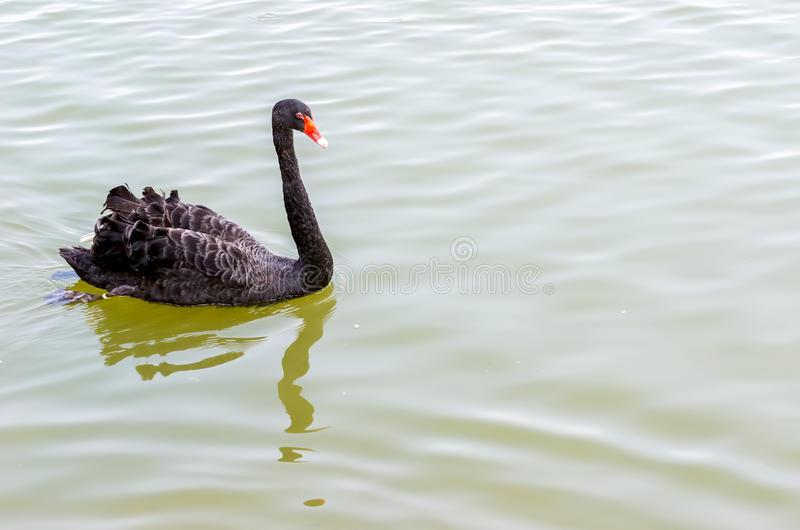 Download The red bill black swan stock photo. Image of beak, graceful - 39510554