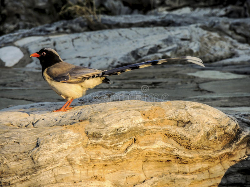 Red-billed Blue Magpie, bird stock photography