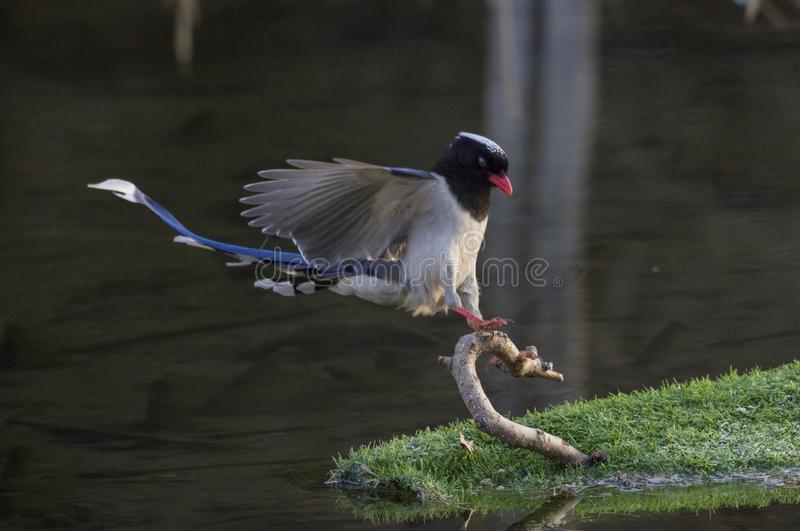 Red - billed blue magpie stock images