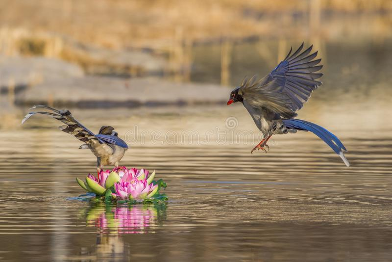 Red - billed blue magpie royalty free stock image