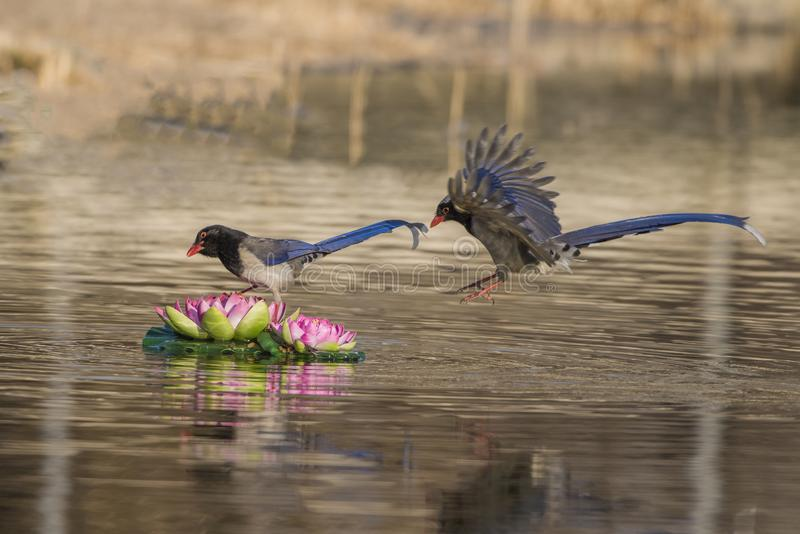 Red - billed blue magpie royalty free stock images