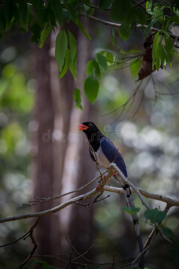 Red-billed blue magpie Urocissa erythrorhyncha at Phukhieo wi royalty free stock image