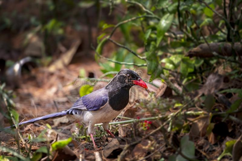 Red-billed blue magpie Urocissa erythrorhyncha is a species of bird in the crow family, It ranges from the Western Himalayas stock images