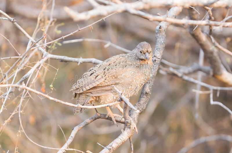 Red billed francolin. Red-billed francolin pternistis adspersus in a tree, Botswana stock photography