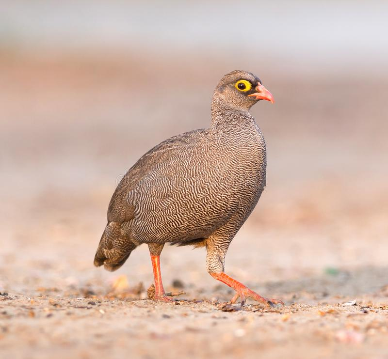 Red-billed francolin. Pternistis adspersus on the ground, Botswana royalty free stock image