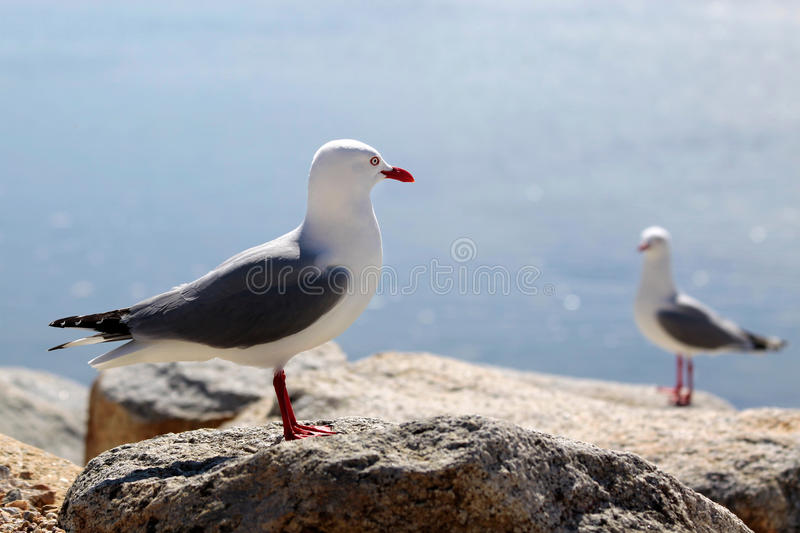 Download Red-billed Gull Royalty Free Stock Photo - Image: 22311805