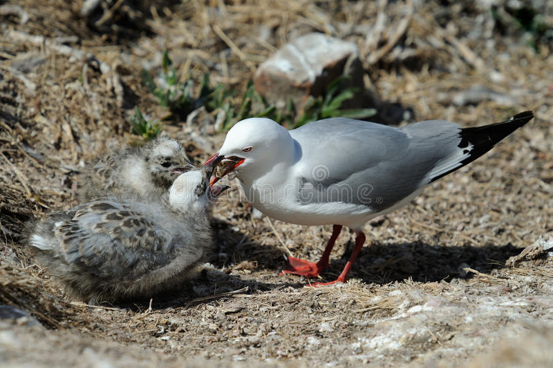 Red-Billed Gull. Feeding two chicks royalty free stock images