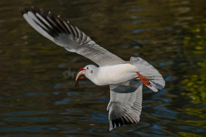 Red-billed Gull. The red-billed gull, commonly known as the `water pigeon`, is similar in shape and color to the pigeons. It has a body length of 37-43 cm, a