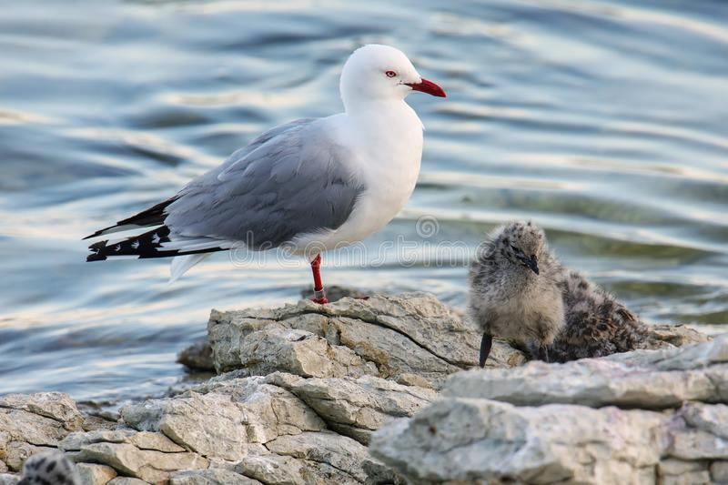 Red-billed gull with small chicks. Kaikoura peninsula, South Island, New Zealand. This bird is native to New Zealand royalty free stock photo