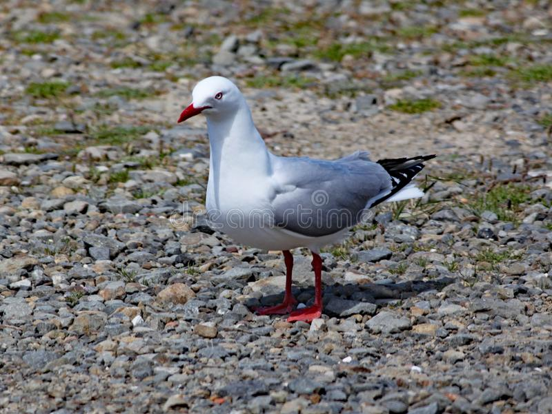 Red billed gull stands on the shingle beach in Wellington, New Zealand.  royalty free stock images