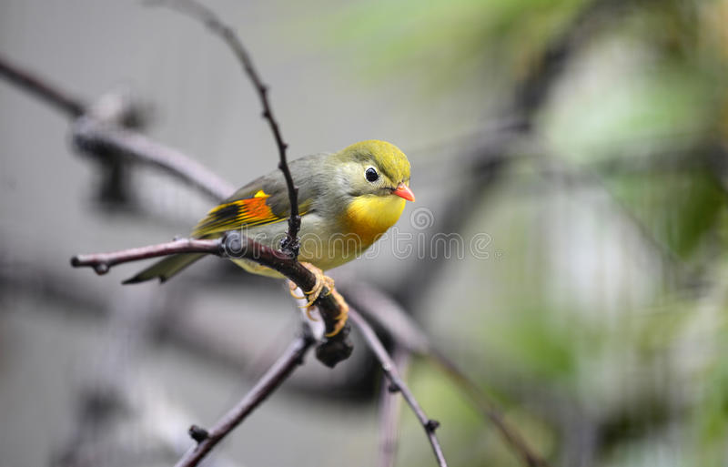 Download Red-billed leiothrix stock image. Image of colorful, bright - 25390173