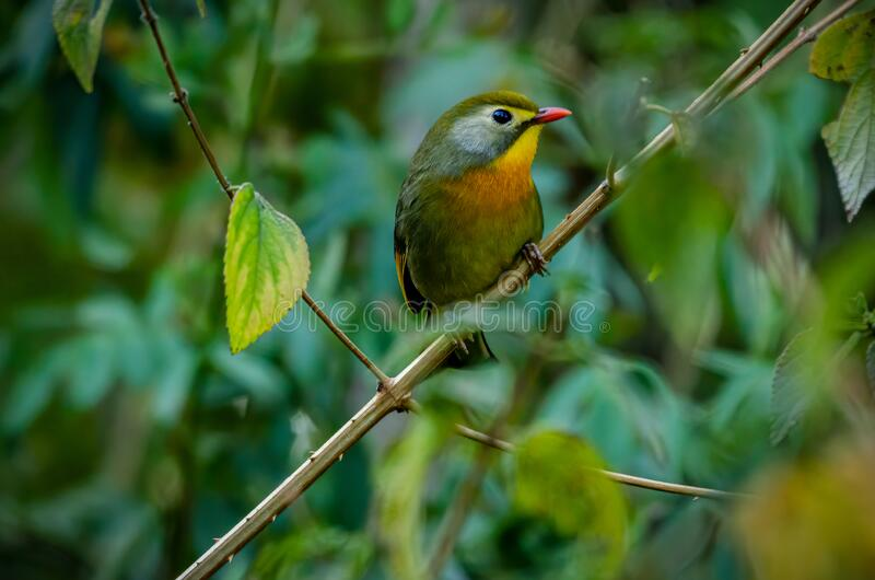Red-billed leiothrix, Birds of Himalaya stock photography