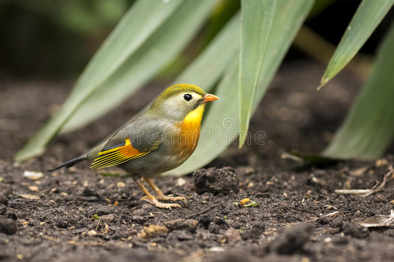 Red-billed leiothrix or Japanese nightingale. Leiothrix lutea, walking through a tropical setting on ground level royalty free stock photo