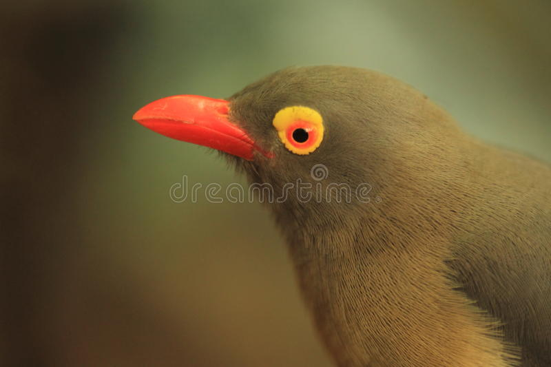 Red-billed oxpecker. The detail of red-billed oxpecker royalty free stock photo
