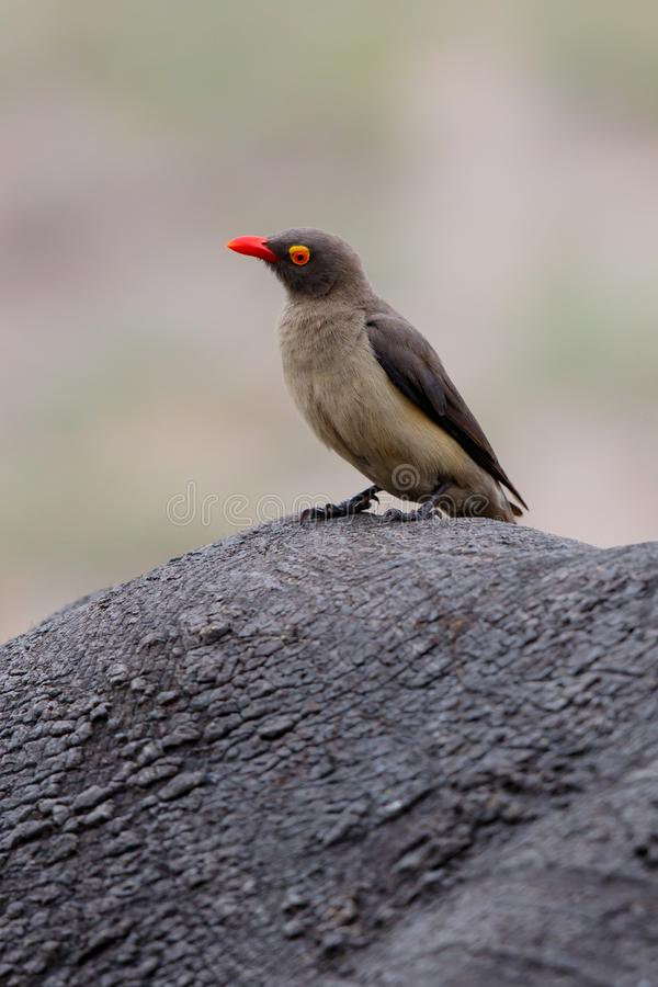 Red-billed oxpecker on a Rhino royalty free stock images