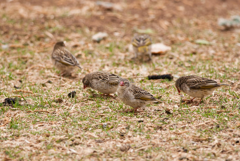 Red-billed Quelea. Flock of red-billed Queleas on the ground in Africa royalty free stock images