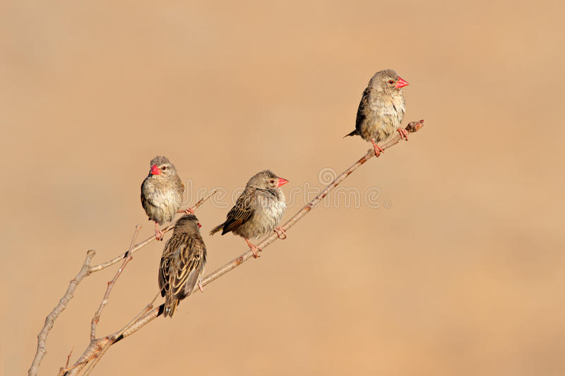 Download Red-billed Queleas stock image. Image of billed, africa - 39512621