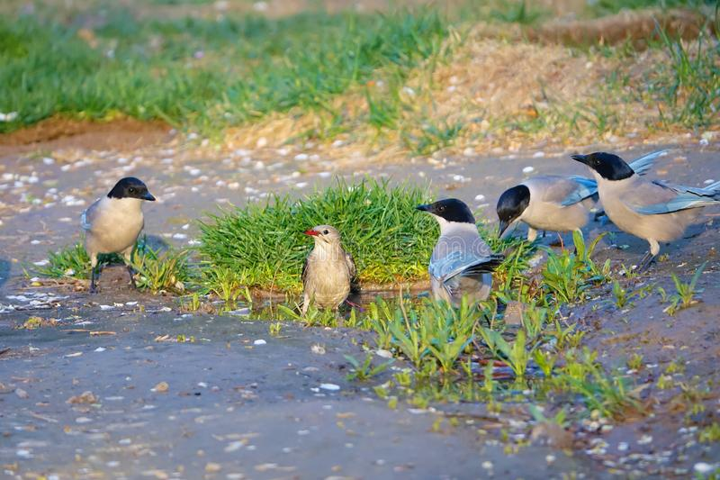 Red-billed Starling and Azure-winged Magpie. A Red-billed Starling baths and four Azure-winged Magpie watch royalty free stock photos