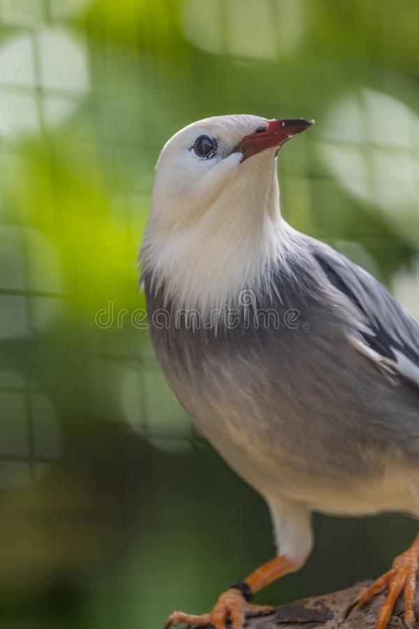 Red Billed Starling Bird With Red Beak. Portrait of a red billed starling standing on a tree branch stock photography