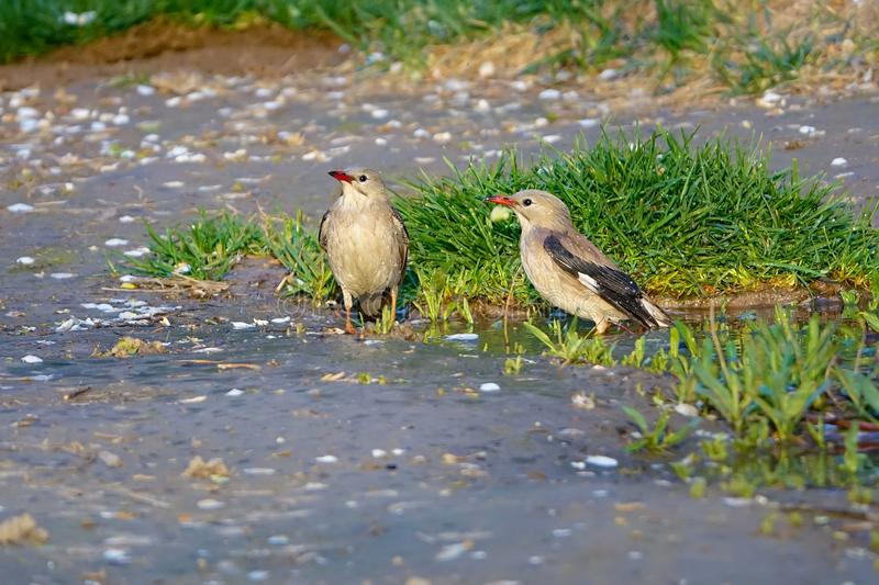Red-billed Starling stock photos