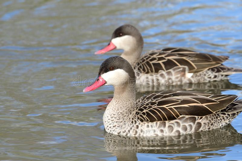 Red billed teal. Close up portrait of two red billed teal swimming in the water stock photos