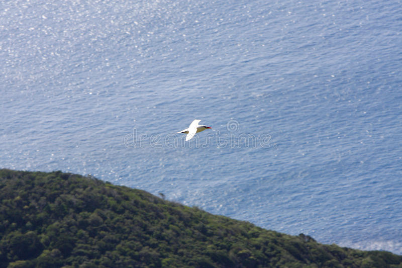 Red-billed tropic bird flies over Lord Howe Island royalty free stock images