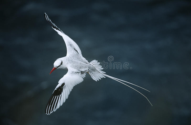 Red-billed Tropicbird flying above sea elevated view royalty free stock photo