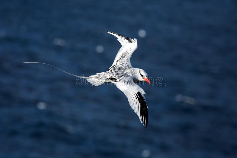 Red-billed Tropicbird Phaethon aethereus flying over the Pacific ocean near Galapagos Islands, beautiful white bird royalty free stock photo