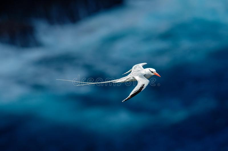 Red-billed Tropicbird, Phaethon aethereus, rare bird from the Caribbean. Flying Tropicbird with green forest in background. Wildli stock photos