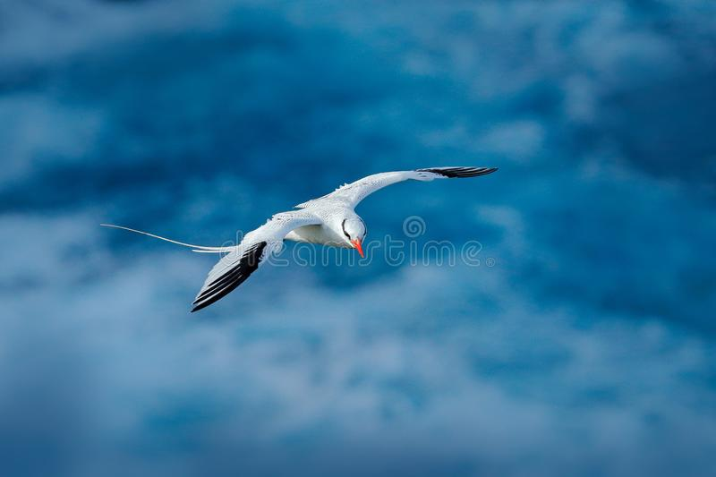 Red-billed Tropicbird, Phaethon aethereus, rare bird from the Caribbean. Flying Tropicbird with green forest in background. Wildli stock photography