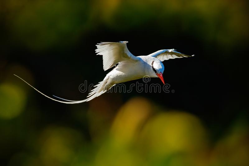 Red-billed Tropicbird, Phaethon aethereus, rare bird from the Caribbean. Flying Tropicbird with green forest in background. Wildli royalty free stock image