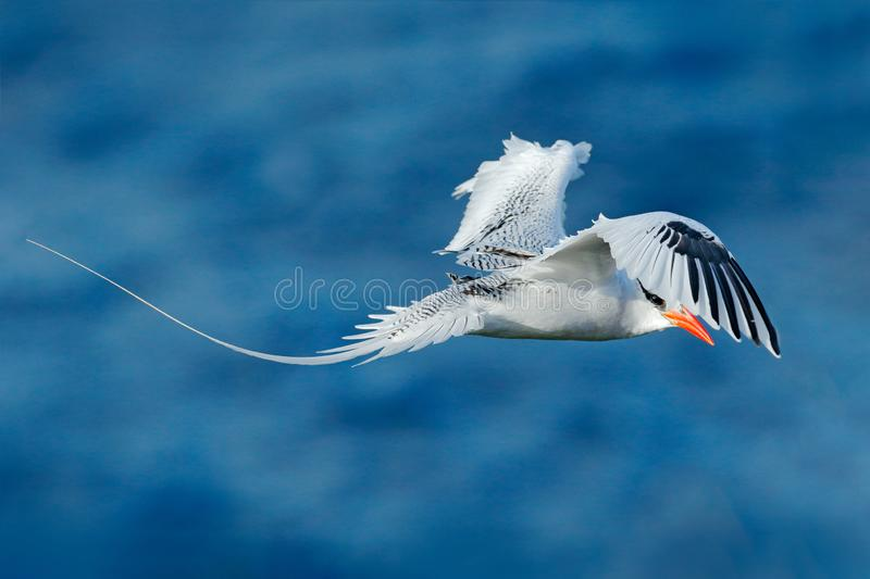 Red-billed Tropicbird, Phaethon aethereus, rare bird from the Caribbean. Flying Tropicbird with green forest in background. Wildli stock image