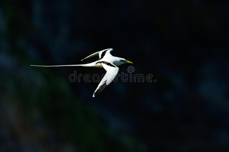 Red-billed Tropicbird, Phaethon aethereus, rare bird from the Caribbean. Flying Tropicbird with green forest in background. stock image