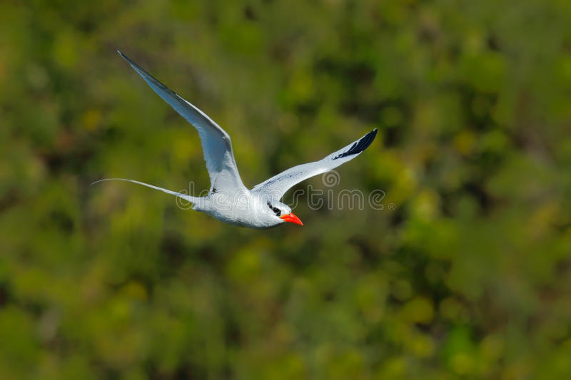 Red-billed Tropicbird, Phaethon aethereus, rare bird from the Caribbean. Flying Tropicbird with green forest background. White stock photos