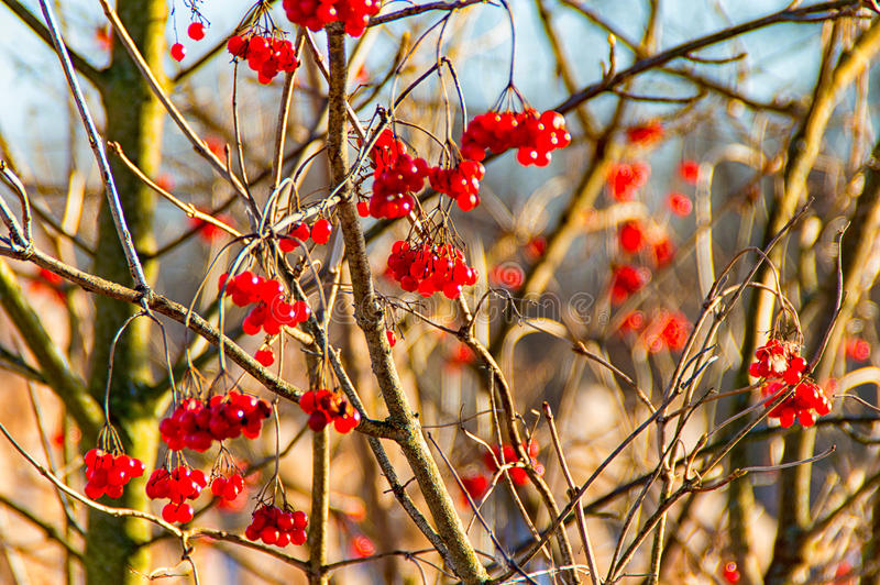 Red bird berries on a Bush. Some red bird berries on a Bush stock photography