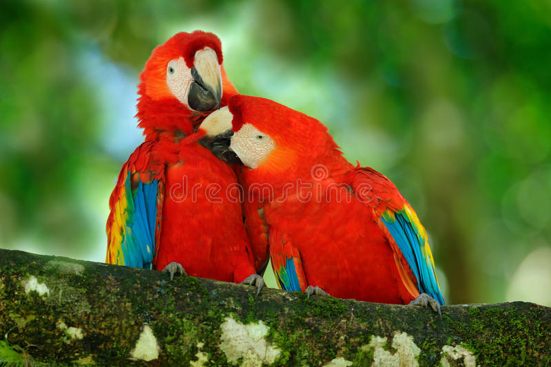 Red bird love. Pair of big parrot Scarlet Macaw, Ara macao, two birds sitting on branch, Costa rica. Wildlife love scene from trop royalty free stock photos