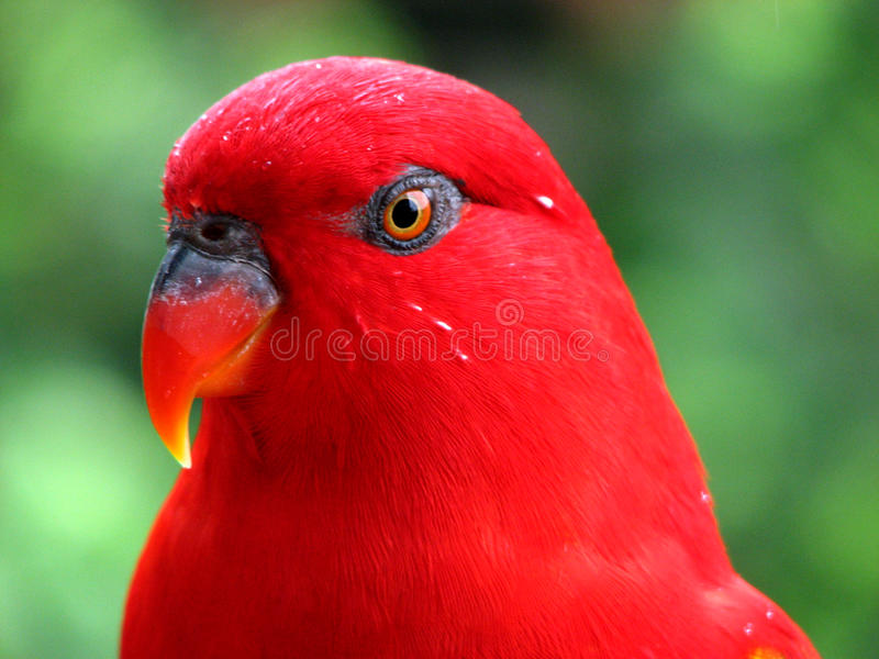 Download Red Bird Wet After The Rain Stock Image - Image of feather, close: 11150929
