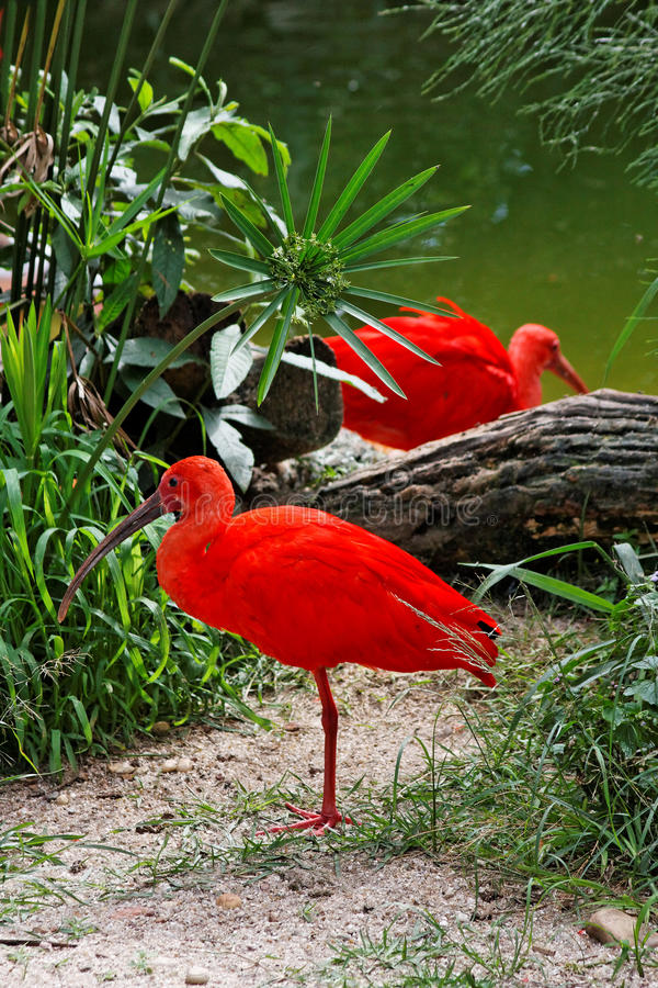 Red Birds in Itatiba. Two red birds contrasting with the green vegetation and waters of a lake in Itatiba, Sao Paulo, Brazil