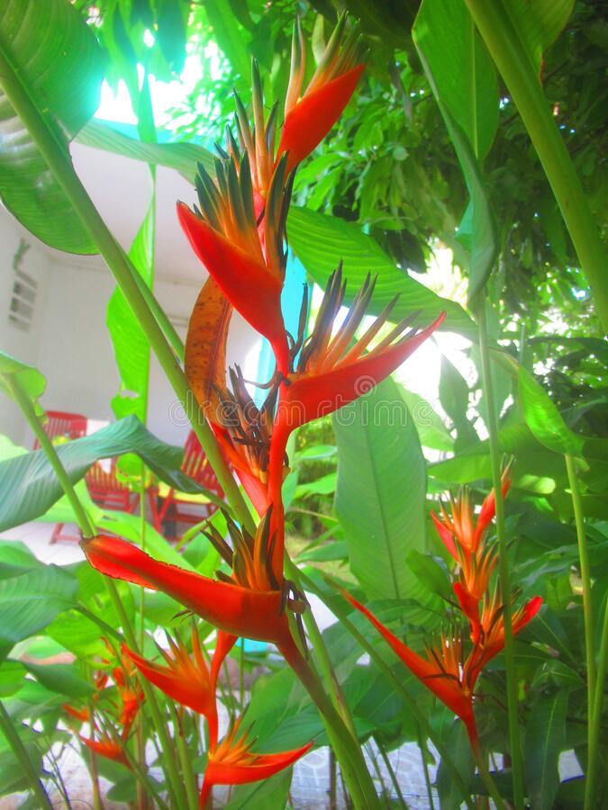 Red `birds of paradise` flowers. And his foliage stock photo
