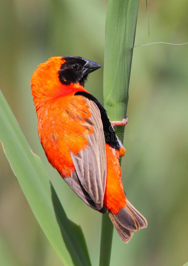 Red Bishop. Photographed in the Eastern Cape stock photography