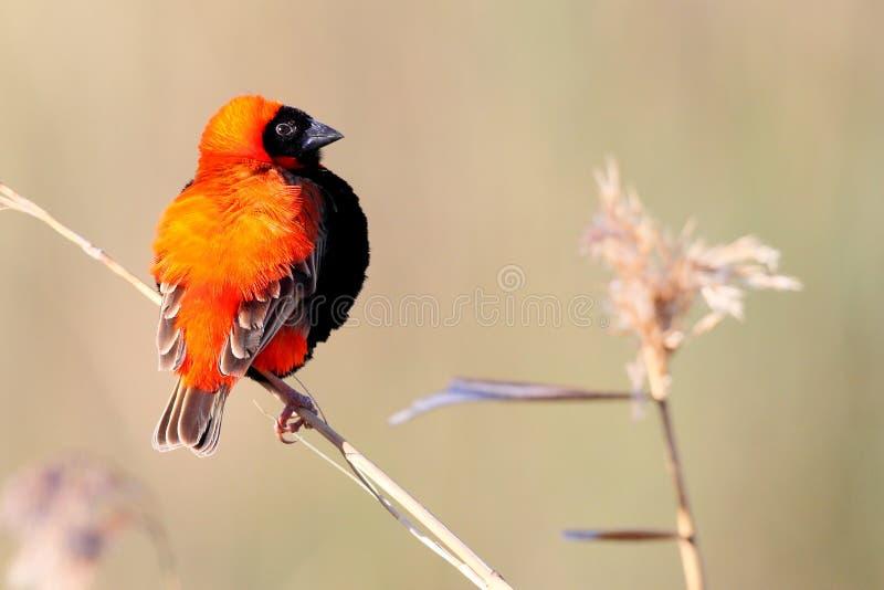 Download Red Bishop stock photo. Image of bird, reed, south, orix - 20620756